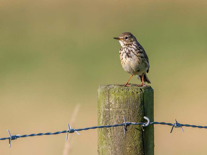 Heipiplerke / Meadow pipit<br /> Karups änge, Sverige 19.7.2014<br /> Canon EOS 7D + Tamron 150 - 600 mm 5,0 - 6,3