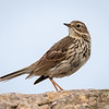 Heipiplerke / Meadow Pipit<br /> Lista, Vest-Agder 22.5.2018<br /> Canon 7D Mark II +  EF 500mm f/4L IS II USM + 1.4x Ext III