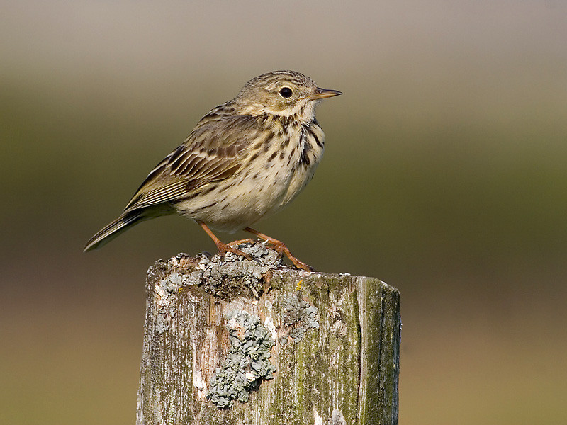 Heipiplerke / Meadow Pipit <br /> Stave, Lista, Vest-Agder<br /> Canon EOS 20D + 400 mm 5,6 L