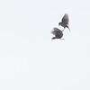 Heipiplerke / Meadow Pipit<br /> Jøllestø, Lista 10.5.2013<br /> Canon EOS 7D + 100-400 mm 4,5-5,6 L
