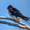 Låvesvale / Barn Swallow<br /> Linnesstranda, Lier 22.04.2018<br /> Canon 7D Mark II + Tamron SP 150-600mm f/5-6.3 G2