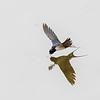 Låvesvale / Barn Swallow<br /> Linnesstranda, Lier 16.5.2005<br /> Canon EOS 20D + EF 200 mm 2,8 + Extender 1,4 x