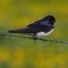Låvesvale / Barn Swallow<br /> Tåkern, Sverige 25.5.2006<br /> Canon EOS 20D + EF 400 mm 5,6 L