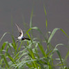 Låvesvale / Barn Swallow<br /> Linnesstranda, Lier 21.6.2014<br /> Canon EOS 5D Mark II + EF 100-400 mm 4,5-5,6 L