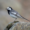 Linerle / White Wagtail<br /> Lista, Vest-Agder 22.5.2018<br /> Canon 7D Mark II + EF 500mm f/4L IS II USM + 1.4x Ext