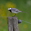 Linerle / White Wagtail<br /> Borrevannet, Vestfold 28.5.2012<br /> Canon EOS 7D + EF 100-400 mm 4,5-5,6 L
