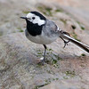 Linerle / White Wagtail<br /> Saltstraumen, Nordland 9.7.2006<br /> Canon EOS 20D + EF 400 mm 5,6 L