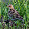 Sanglerke / Eurasian Skylark <br /> Linnesstranda, Lier 26.5.2010<br /> Canon EOS 50D + EF 400 mm 5,6 L