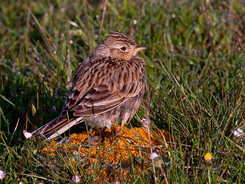 Sanglerke / Eurasian Skylark <br /> Ottenby, Øland, Sverige 22.5.2009<br /> Canon EOS 50D + EF 400 mm 5.6 L