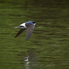 Taksvale / House Martin <br /> Linnesstranda, Lier 16.5.2020<br /> Canon  5D Mark IV + EF 500mm f/4L IS II USM + 1.4x Ext
