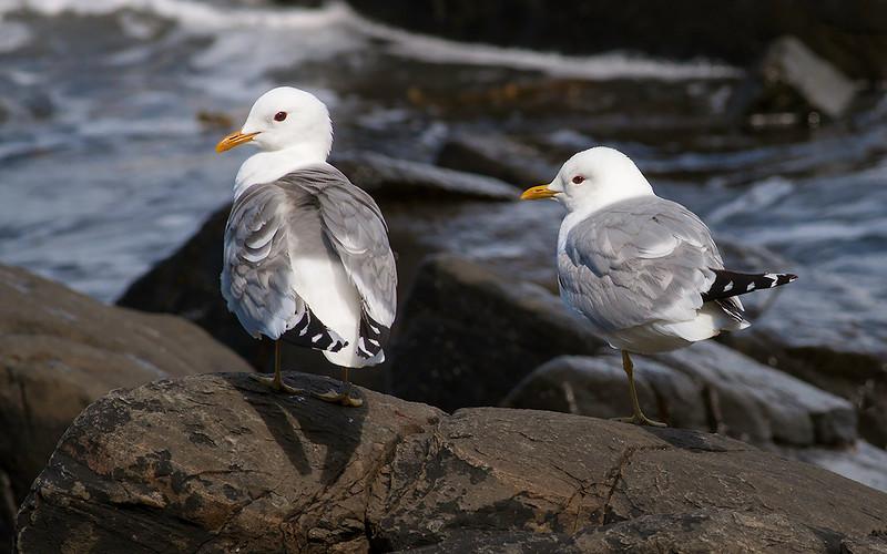 Fiskemåke / Mew Gull<br /> Runde, Møre og Romsdal 8.7.2009<br /> Canon EOS 50D + EF 400 mm 5,6 L