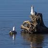 Fiskemåke / Mew Gull<br /> Linnesstranda, Lier 27.4.2013<br /> Canon EOS 7D + EF 100-400 mm 4,5-5,6 L