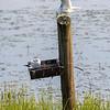 Fiskemåke / Common Gull<br /> Limsjön, Sverige 19.7.2021<br /> Canon EOS R5 + EF 500mm f/4L IS II USM + 2x Ext