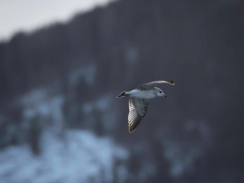 Fiskemåke / Mew Gull<br />  Linnesstranda, Lier  17.1.2015<br /> Canon EOS 7D  Mark II + Tamron 150 - 600 mm 5,0 - 6,3