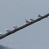 Fiskemåke / Mew Gull<br /> Linnesstranda, Lier 20.5.2006<br /> Canon EOS 20D + EF 200 mm 2,8 L