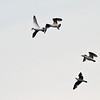 Gråmåke / European Herring Gull<br /> Linnesstranda, Lier 10.5.2011<br /> Canon EOS 50D + EF 400 mm 5.6 L