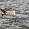 Gråmåke / European Herring Gull<br /> Tofte, Hurum 9.11.2014<br /> Canon EOS 7D Mark II + Tamron 150 - 600 mm 5,0 - 6,3