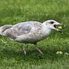Gråmåke / Herring Gull<br /> Tofte, Hurum 7.9.2014<br /> Canon EOS 7D + Tamron 150 - 600 mm 5,0 - 6,3