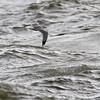 Gråmåke / European Herring Gull<br /> Tofte, Hurum 16.10.2014<br /> Canon EOS 7D + Tamron 150 - 600 mm 5,0 - 6,3