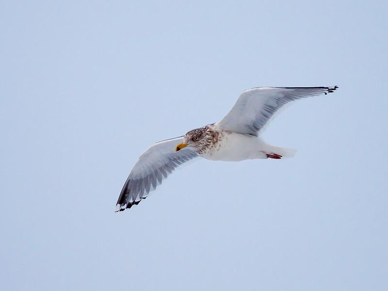 Gråmåke / European Herring Gull<br /> Elveparken, Drammen 10.01.2009