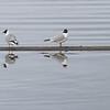 Hettemåke / Black-headed Gull<br /> Linnesstranda, Lier 21.4.2012<br /> Canon EOS 7D + EF 400 mm 5,6 L