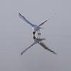 Hettemåke / Black-headed Gull<br /> Linnesstranda, Lier 7.4.2009<br /> Canon EOS 7D + EF 400 mm 5,6 L