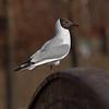 Hettemåke / Black-headed Gull<br /> Elveparken, Drammen<br /> Canon EOS 20D + EF 200 mm 2,8 + Extender 1,4 x