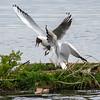 Hettemåke / Black-headed Gull<br /> Hornborgasjön, Sverige 21.5.2009<br /> Canon EOS 50D + EF 400 mm 5,6 L