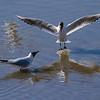 Hettemåke / Black-headed Gull<br /> Linnesstranda, Lier 27.4.2013<br /> Canon EOS 7D + EF 100-400 mm 4,5-5,6 L