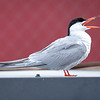 Makrellterne / Common Tern<br /> Linnesstranda, Lier 15.7.2018<br /> Canon 5D Mark IV + EF EF 500mm f/4L S II USM