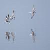 Makrellterne / Common Tern<br /> Linnesstranda, Lier 13.5.2017<br /> Canon 7D Mark II + Tamron 150 - 600 mm 5,0 - 6,3 G2