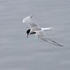 Makrellterne / Common Tern<br /> Linnesstranda, Lier 17.6.2012<br /> Canon EOS 7D + EF 100-400 mm 4,5-5,6 L