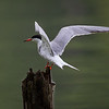 Makrellterne / Common Tern<br /> Ørebro, Sverige 21.7.2019<br /> Canon  5D Mark IV + EF 500mm f/4L IS II USM + 1.4x Extender