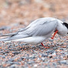 Makrellterne / Common Tern<br /> Linnesstranda, Lier 16.6.2019<br /> Canon 5D Mark IV + EF 500mm f/4L IS II USM + 1.4x Ext