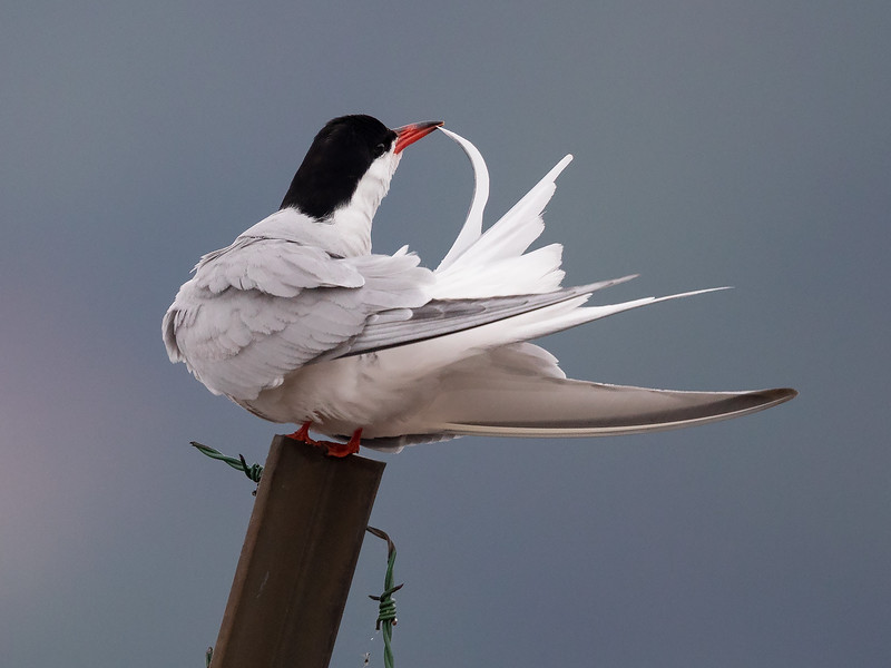 Makrellterne / Common Tern<br /> Linnesstranda, Lier 8.6.2019<br /> Canon 5D Mark IV + EF 500mm f/4L IS II USM + 1.4x Ext