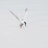 Makrellterne / Common Tern<br /> Linnesstranda, Lier 29.5.2016<br /> Canon 7D Mark II + Tamron 150 - 600 mm 5,0 - 6,3