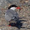 Makrellterne / Common Tern<br /> Linnesstranda, Lier 14.6.2020<br /> Canon 5D Mark IV + EF 500mm f/4L IS II USM + 1.4x Ext