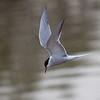Makrellterne / Common Tern <br /> Linnesstranda, Lier 14.5.2010<br /> Canon Eos 50D + EF 400 mm 5,6 L