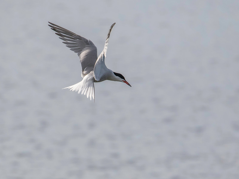 Makrellterne / Common Tern<br /> Linnesstranda, Lier 27.6.2015<br /> Canon 7D Mark II + Tamron 150 - 600 mm 5,0 - 63