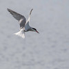 Makrellterne / Common Tern<br /> Linnesstranda, Lier 27.6.2015<br /> Canon 7D Mark II + Tamron 150 - 600 mm 5,0 - 6,3