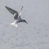 Makrellterne / Common Tern<br /> Linnesstranda, Lier 27.6.2015<br /> Canon 7D Mark II + Tamron 150 - 600 mm 5,0 - 6,3