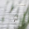 Makrellterne / Common Tern<br /> Linnesstranda, Lier 22.6.2013<br /> Canon EOS 5D Mark II + EF 100-400 mm 4,5-5,6 L