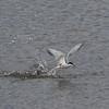 Makrellterne / Common Tern<br /> Linnesstranda, Lier 26.6.2015<br /> Canon 7D Mark II + Tamron 150 - 600 mm 5,0 - 6,3