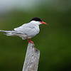 Makrellterne / Common Tern<br /> Linnesstranda, Lier 4.7.2020<br /> Canon 5D Mark IV + EF 500mm f/4L IS II USM + 1.4 Ext