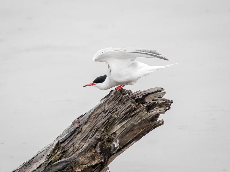 Makrellterne / Common Tern<br /> Linnesstranda, Lier 14.5.2017<br /> Canon 7D Mark II + Tamron 150 - 600 mm 5,0 - 6,3 G2