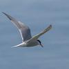 Makrellterne / Common Tern<br /> Linnesstranda, Lier 25.6.2015<br /> Canon 7D Mark II + Tamron 150 - 600 mm 5,0 - 6,3