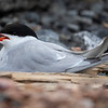 Makrellterne / Common Tern<br /> Linnesstranda, Lier 8.6.2019<br /> Canon 5D Mark IV + EF 500mm f/4L IS II USM + 1.4 Ext