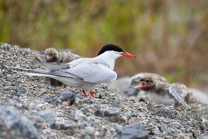 Makrellterne / Common Tern<br /> Linnesstranda, Lier 6.7.2019<br /> Canon 5D Mark IV + EF 500mm f/4L IS II USM + 1.4 Ext