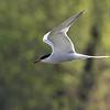 Makrellterne / Common Tern<br /> Linnesstranda, Lier 2.5.2015<br /> Canon 7D Mark II + Tamron 150 - 600 mm 5,0 - 6,3 @ 400 mm