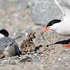Makrellterne / Common Tern<br /> Linnesstranda, Lier 14.6.2020<br /> Canon 5D Mark IV + EF 500mm f/4L IS II USM + 1.4x Ext